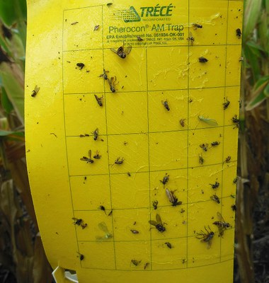 Sticky trap for adult corn rootworms