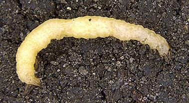 Corn rootworm larva