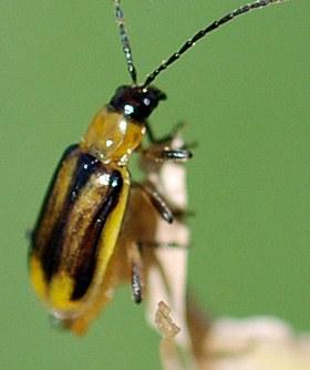 Female western corn rootworm adult