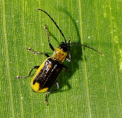 Male western corn rootworm adult