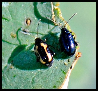 Adlut striped flea beetle and crucifer flea beetle