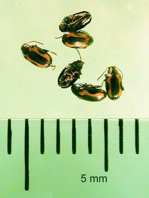 Figure 2 Striped flea beetle group