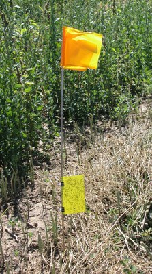 Figure 10sticky trap used for monitoring flea beetles