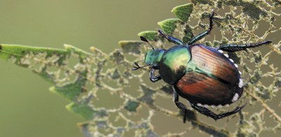 Japanese Beetle Cover