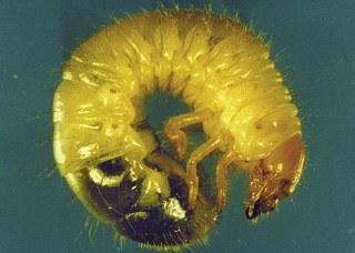 Japanses beetle larva