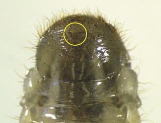 Figure 3, Photo by Mike Reding and Betsey Anderson, US Dept of Ag-Ag Research Service, www.Bugwood.org