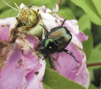 Japanese beetle damage to rose