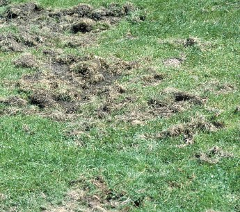 Secondary turf damage by animals feeding on grubs