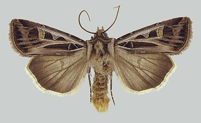 Figure 9 Dingy cutworm adult