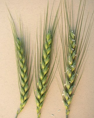 Crop stages of hard red wheat