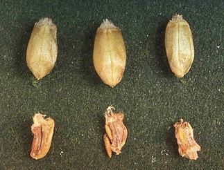 Healthy and damaged wheat kernels