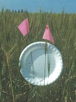 Trap used to monitor for adult wheat midge
