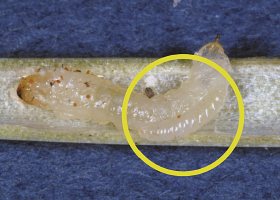 Parasitoid attatched to sawfly larva