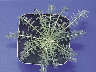 Diffuse knapweed rosette