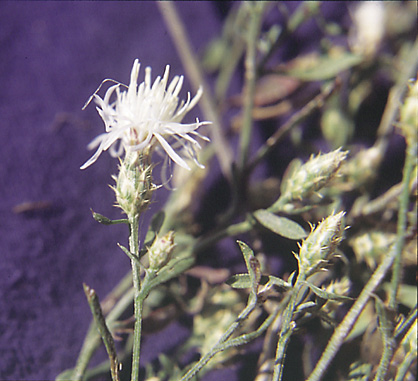 White knapweed flowering plant