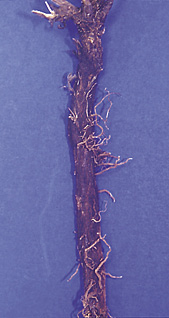 Roots of spotted knapweed