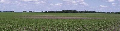 Bare patch in sugar beet field caused by leaf-feeding weevils