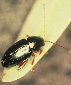 A. lacertosa