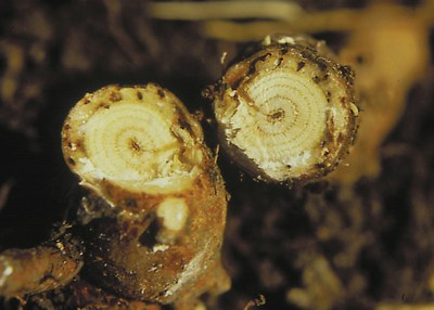 Leafy spurge root crown