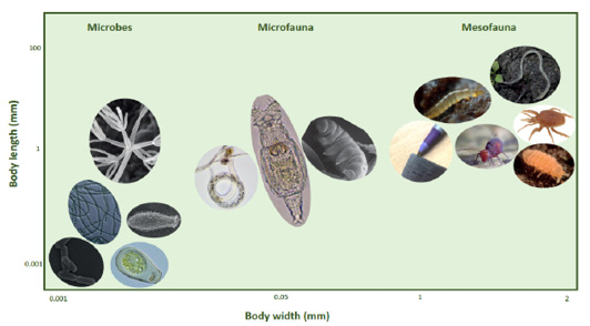 Illustration from Orgiazzi et al., 2016 showing relative sizes of soil organisms.