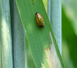 CLB larval feeding