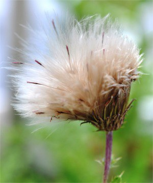 Seed head of Canada thistle displaying seeds with feathery pappus