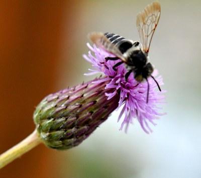 Pollintor feeding on Canada thistle flower