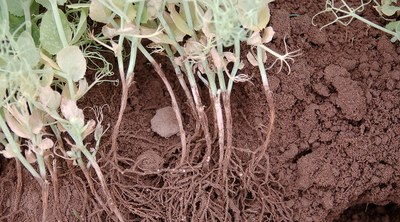 Aphanomyces root rot