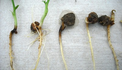 Pythium seed and seedling rot