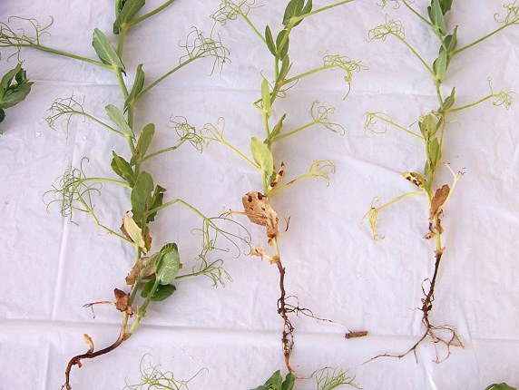 Rhizoctonia seed, seedling and root rot
