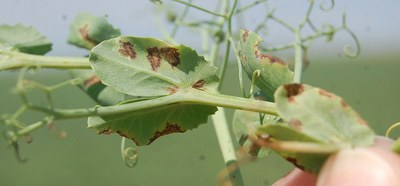 Bacterial blight and brown spot