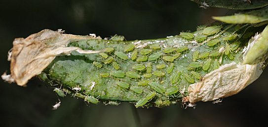 Heavy aphid pressure. (Photo by Sam Markell, NDSU)
