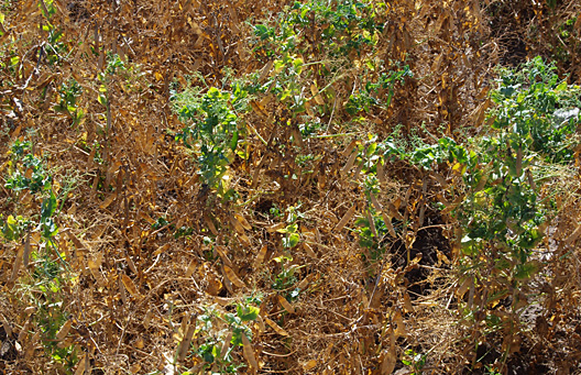 Severe malformation and delayed maturity in peas infected with PSbMV. (Photo by Michael Wunsch, NDSU)