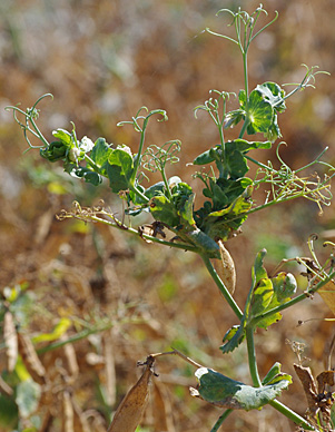 Clearing of veins and slight downward curling of leaf margins caused by PSbMV. (Photo by Michael Wunsch,NDSU)