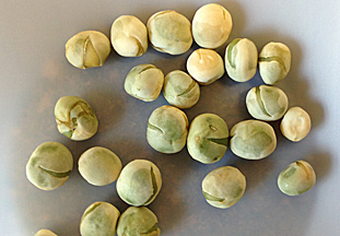 Splitting of seed coats caused by PSbMV. (Photo by Julie Pasche, NDSU)