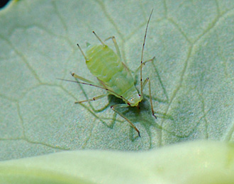 Nymph of the pea aphid, Acyrothosiphon pisum. (Photo by Patrick Beauzay, NDSU)