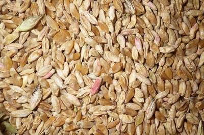 Sabby kernels in durum seed lot