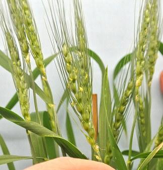wheat early flowering