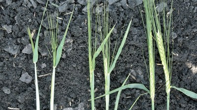growth stages of barley