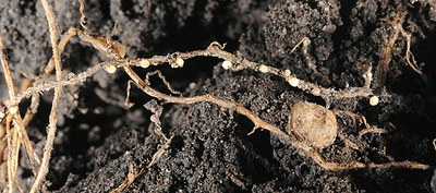 Cream-colored systs and one nodule on soybean roots.