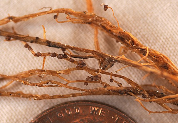 Brown cysts on soybean roots.