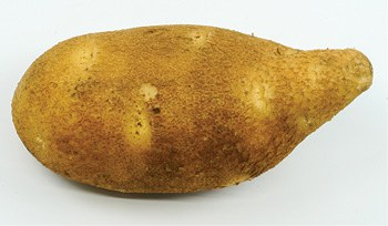 Figure 1. Pointy stem end tuber.
