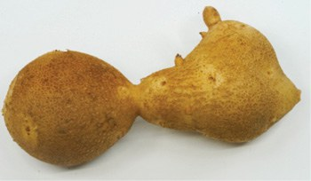 Figure 3. Dumbbell-shaped tuber.