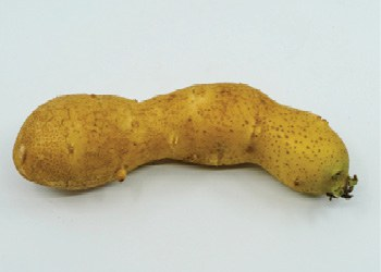 Figure 5. Elongated tuber.