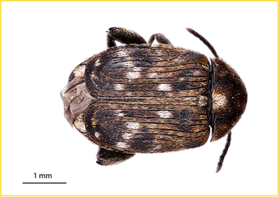 Pea weevil Figure 1
