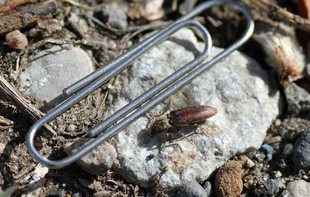 Figure 1  Wireoworm adult