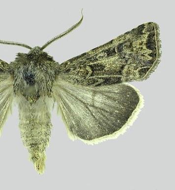 Wireworm Figure 5 Pale western cutworm moth