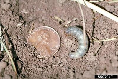 Cutworms Figure 6 Pale western cutworm larvae