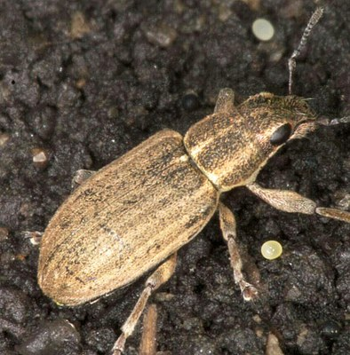 Pea leaf weevil Figure 1 adult and egg in soil