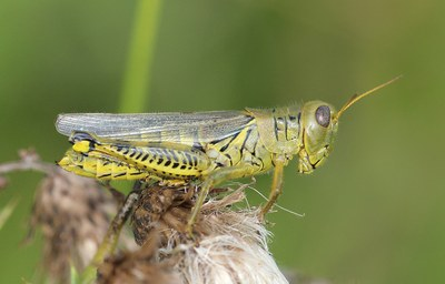 Grasshoppers Figure 1 Differential grasshopper